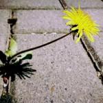 Jak odstranit plevel ze zahradní dlažby