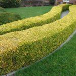 Živý plot ostříhejte v srpnu, jinak nestihne zazimovat