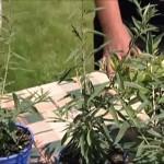 Pěstování a použití máty