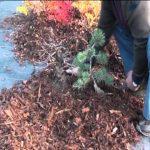 Zazimování venkovních bonsají
