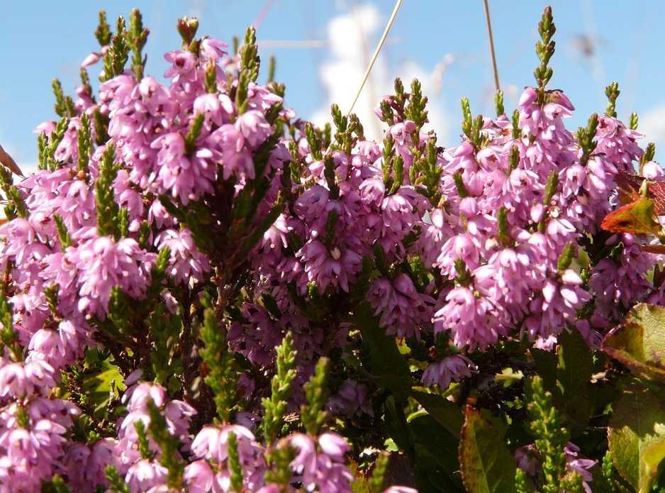 Vřesovec má výraznější barvy a liší se dobou květu, pixabay.com