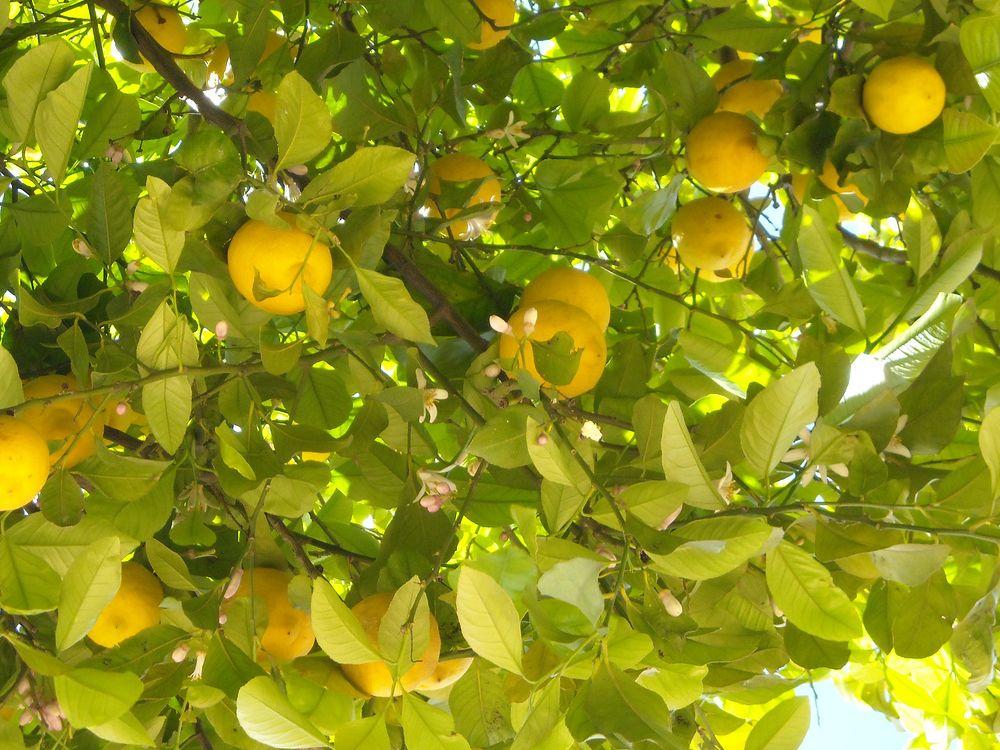 Citrusy dokáží kvést a plodit zároveň, flickr.com