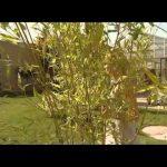 Dejte se na pěstování bambusu