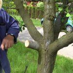 Jak na roubování dřevin