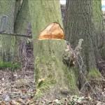 Kácení stromů nakloněných na opačnou stranu