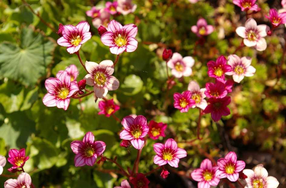 Lomikámen v létě krásně kvete, pixabay.com