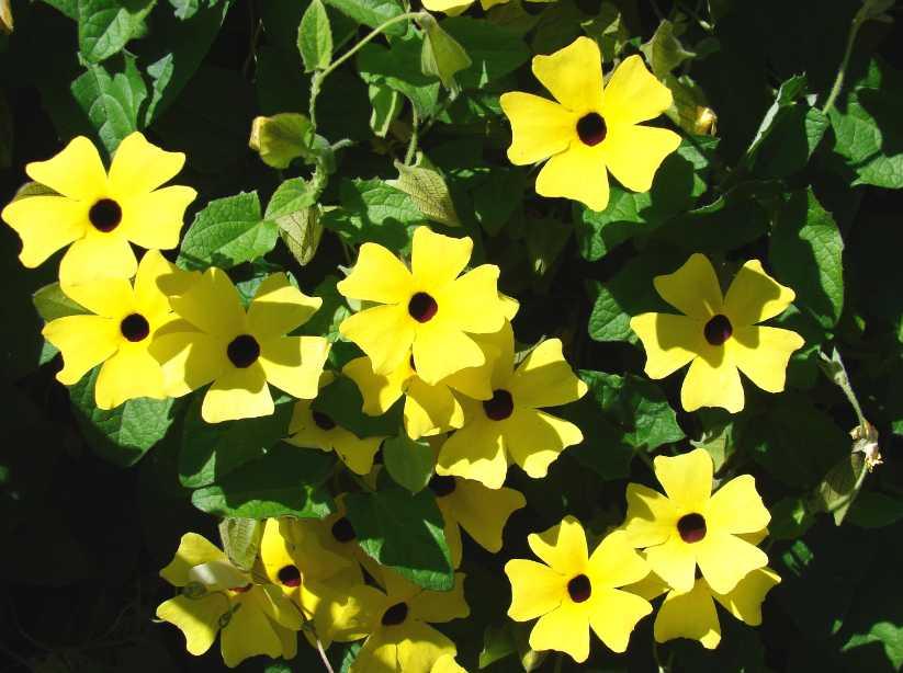 Thunbergia alias černooká Zuzana potěší i doma v květináči, wikipedia.net