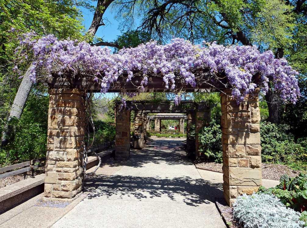 Vistárie se za patřičnou péči odvěčí nádhernými květy, flickr.com