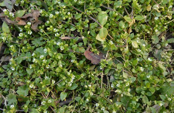 Žabinec ptačinec, wikipedia.org