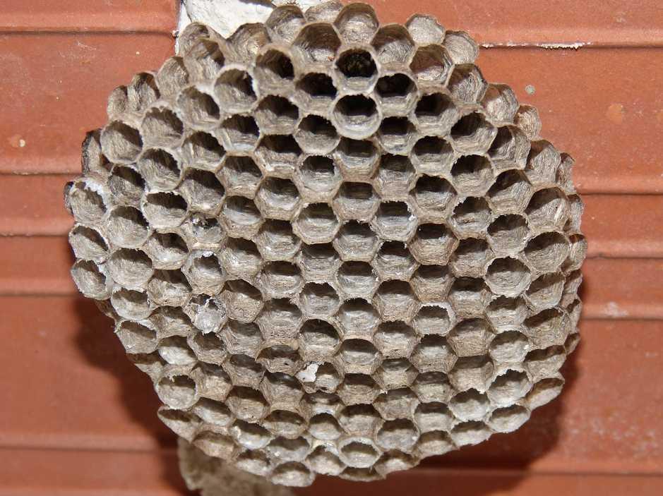 I z malé papírové plástve může časem vyrůst obří hnízdo, pixabay.com