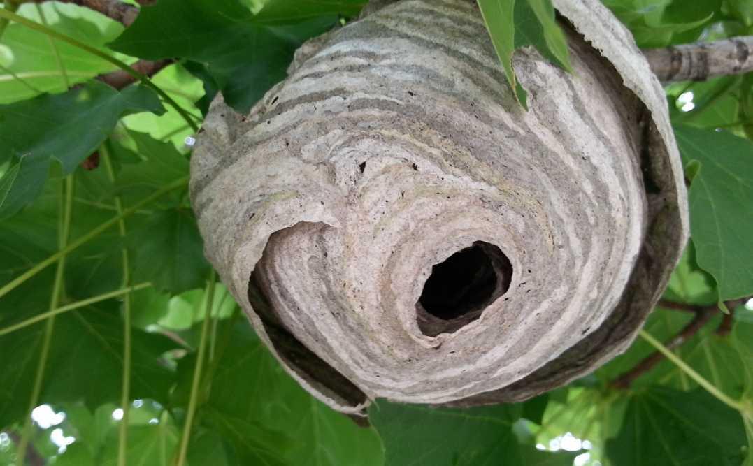 Kulovité hnízdo prozradí přítomnost vos na první pohled, reddit.com