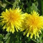 10 nejúpornějších zahradních plevelů – poradíme vám jak na ně