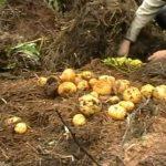 Jak na brambory bez orby a rytí