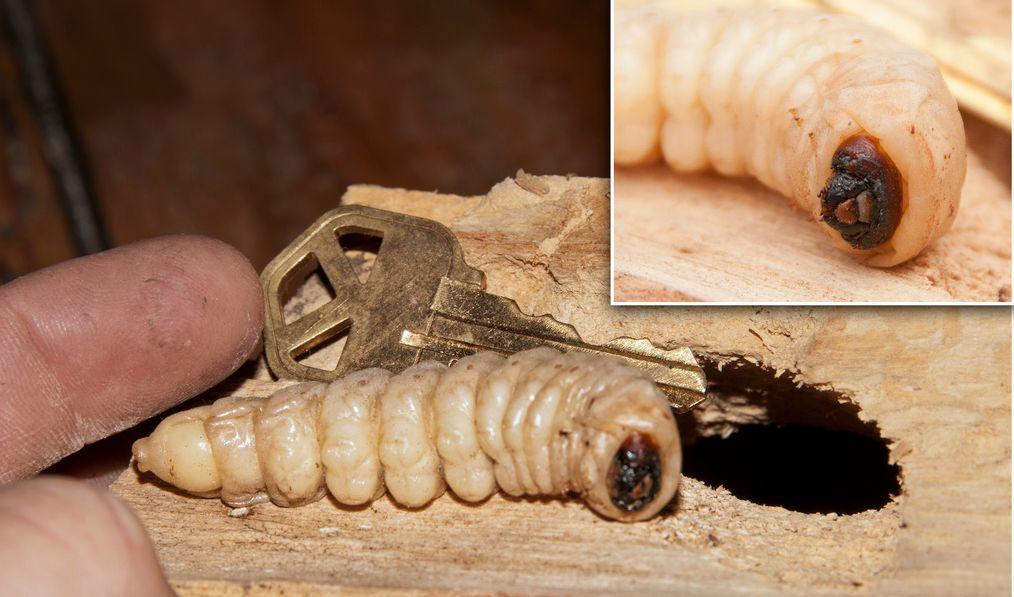 Dřevo mohou ohrozit i jiní škůdci, flickr.com